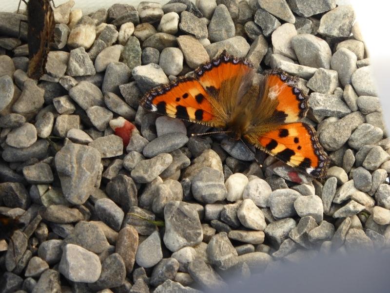 US - Schmetterling (1)