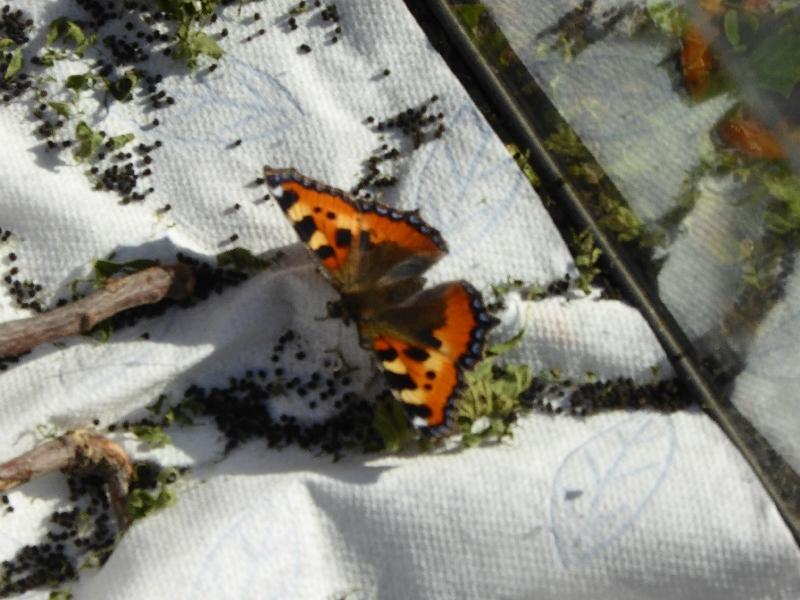 US - Schmetterling (11)