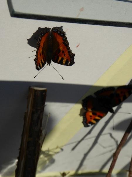 US - Schmetterling (12)