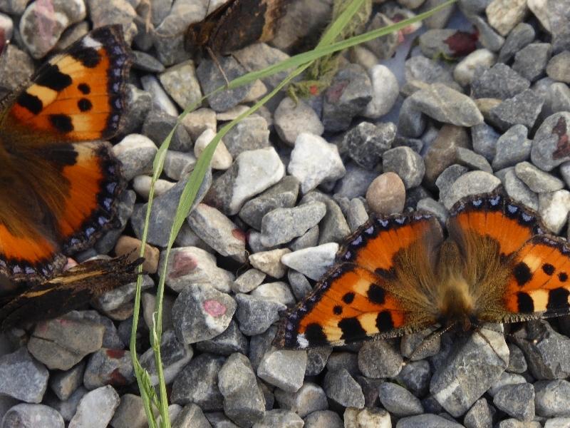 US - Schmetterling (2)