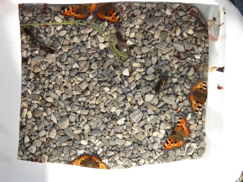 US - Schmetterling (4)