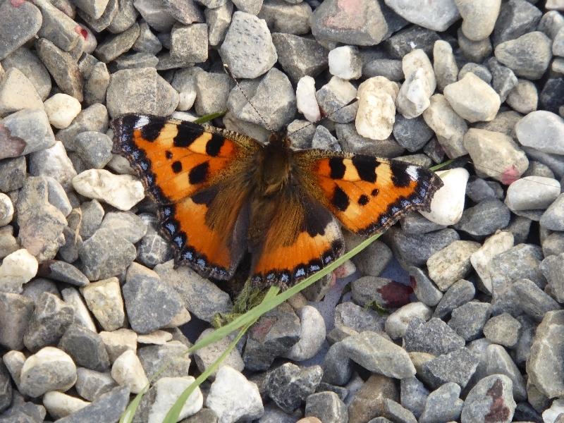 US - Schmetterling (7)